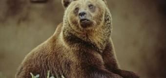 Un altro orso marsicano ucciso
